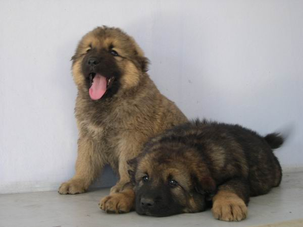 河南肉狗基地供肉狗价格狗仔养殖养狗赚钱