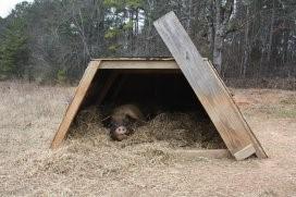 户外猪舍人工授精新技术将提高育种质量
