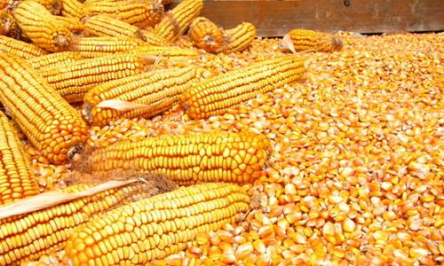 玉米价格由市场决定 临储制度改革将至