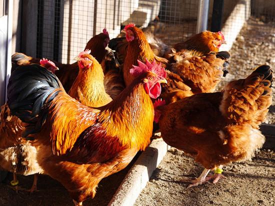 旧鸡舍的化学物会污染鸡蛋