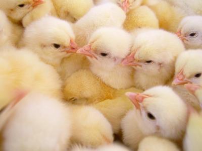现代养鸡业为什么要额外补充优质维生素