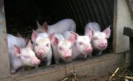 科学配制猪饲料必须遵守的四个营养搭配原则
