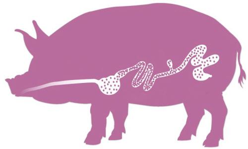 研究:改善猪只的养分消化能力可减少猪肉行业的碳足迹