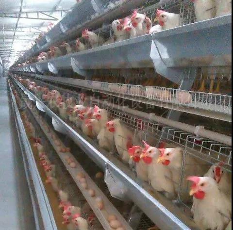 夏季蛋鸡热应激的营养调控与鸡群管理