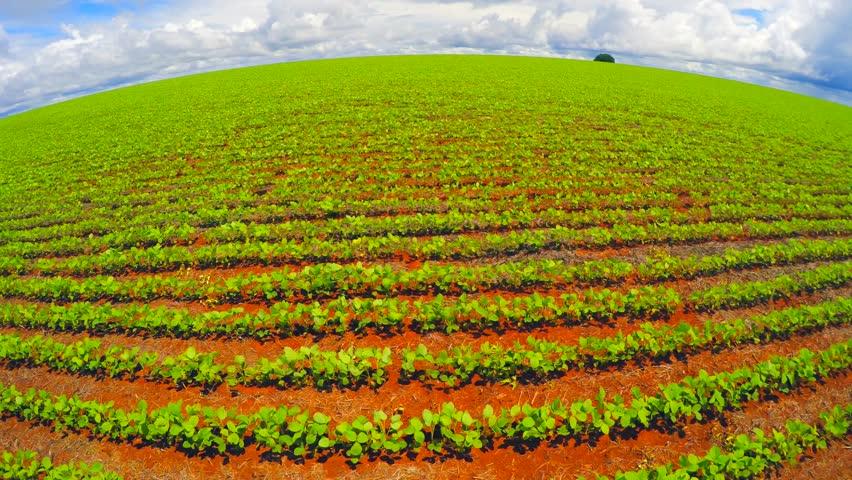 中国改变巴西农业格局:农民纷纷弃糖种豆