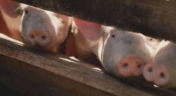 连发三起非洲猪瘟疫情 农业农村部与警方协同追查