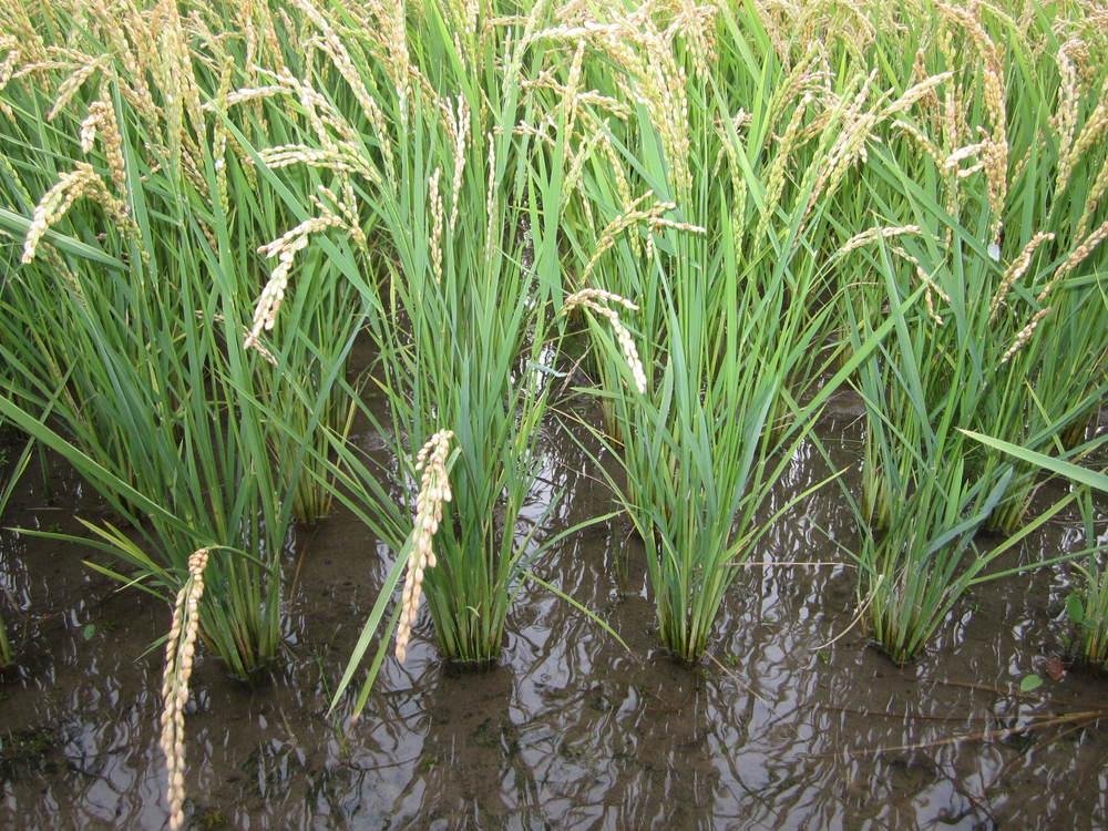 水稻种植对全球变暖的影响可能被低估