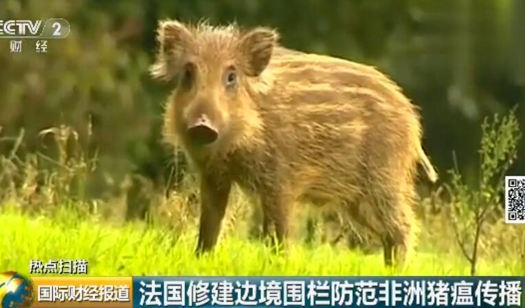 防止非洲猪瘟传播 法国在比利时边境建造电围栏