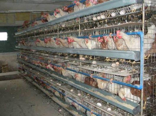 美加州法规禁止笼养产蛋鸡
