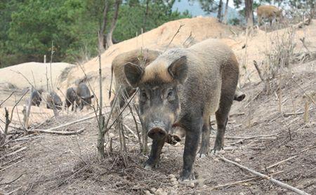 日本再报猪瘟疫情