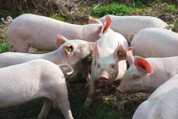 上海金山非洲猪瘟疫情或与饲喂外来餐厨剩余物有关