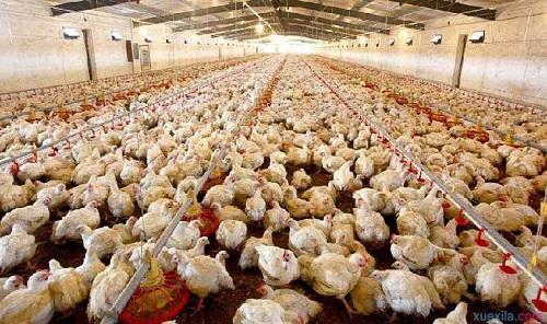 肉鸡一条龙饲料厂可提高效率并降低成本