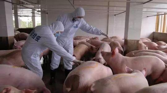 """非洲猪瘟或""""倒逼""""行业:促进饲料业规范化发展"""