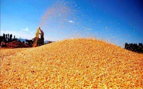 非洲猪瘟视角下玉米消费的希望在哪里?
