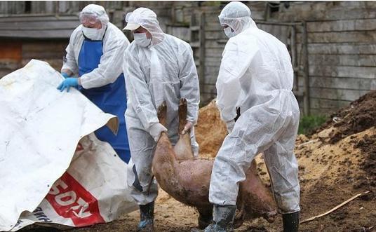 非洲猪瘟疫情升温 越南已扑杀超过120万头病猪