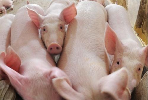 上半年猪肉产量下降5.5%,猪价还要飞多久?