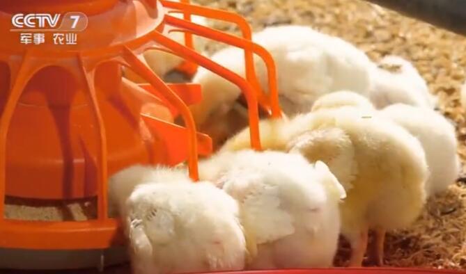 如何高效饲养白羽肉鸡