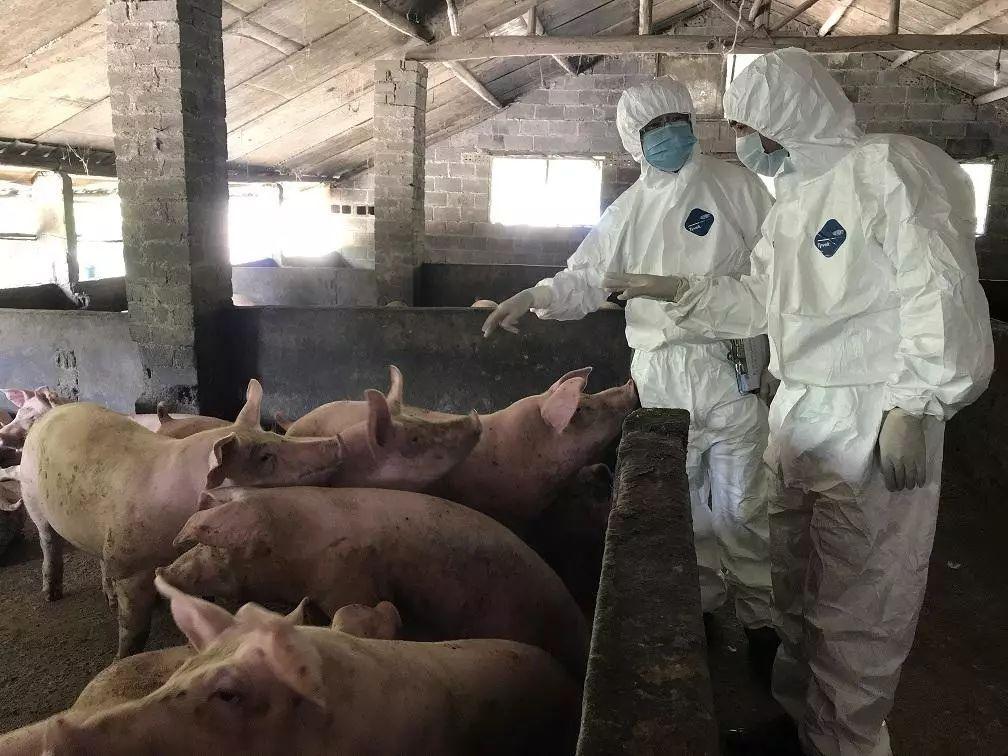 世界猪肉供应专家:非洲猪瘟可能已经蔓延到了美国