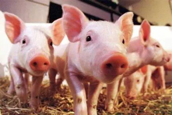 11月猪肉销售均价降一成  生猪加速复产