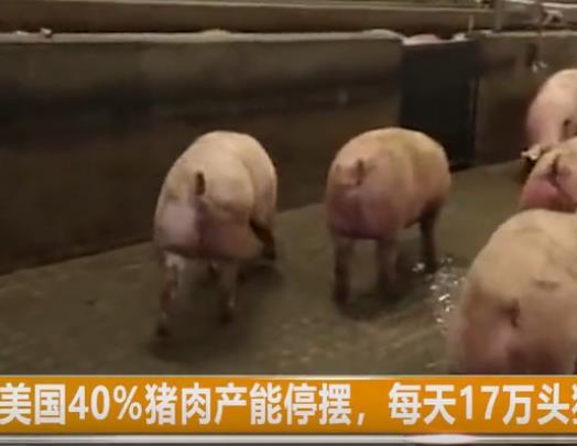 美国40%猪肉产能停摆,每天17万头猪无处可去