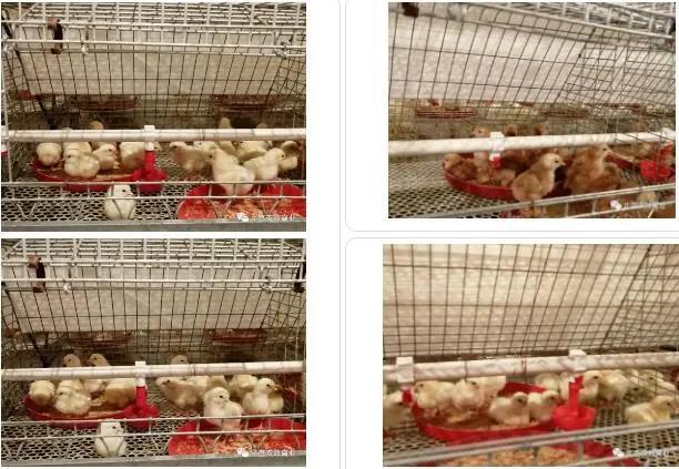 北京农效禽业引进13000套伊莎祖代鸡