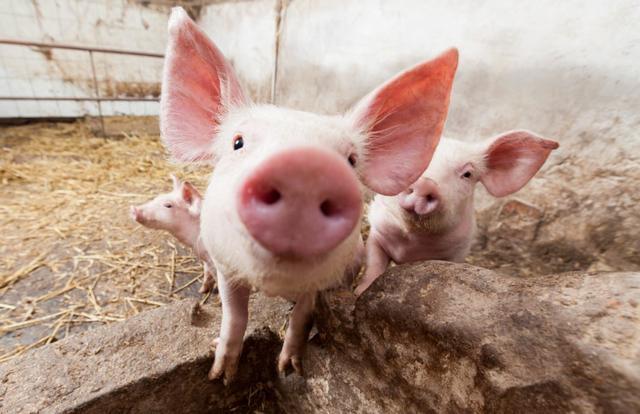 四川省生猪存栏连续7个月增长