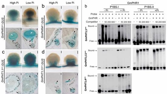研究揭示大豆根瘤中磷稳态调节机制