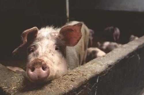 """德国确认首例""""非洲猪瘟"""",恐怕影响对华出口"""