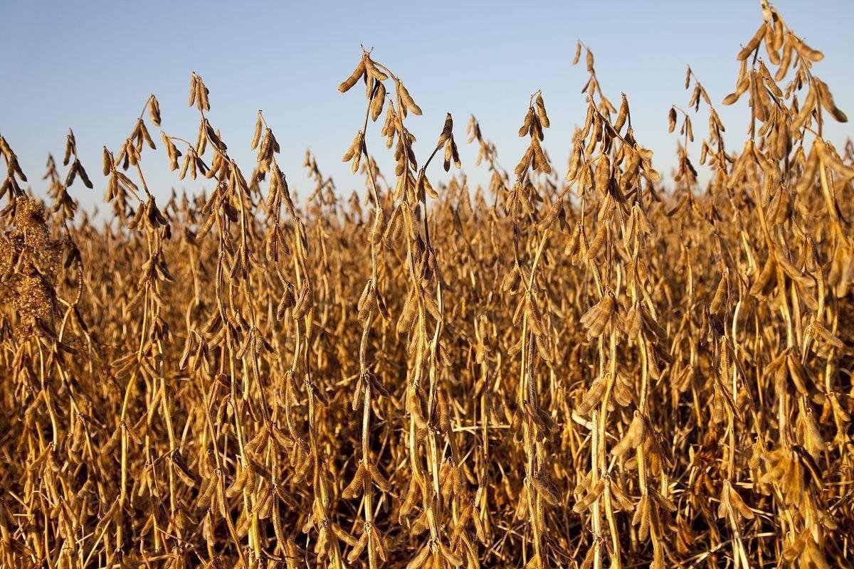 大豆连涨!加工企业被逼停产,饲料要涨?