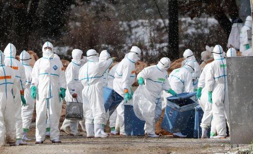 日本兵库一养鸡场检出禽流感病毒 14万只鸡将被扑杀