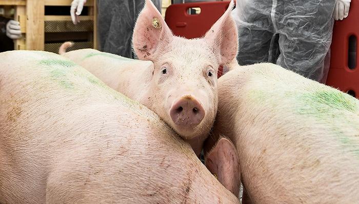 美国研发出基因编辑猪,能吃也能用于医疗