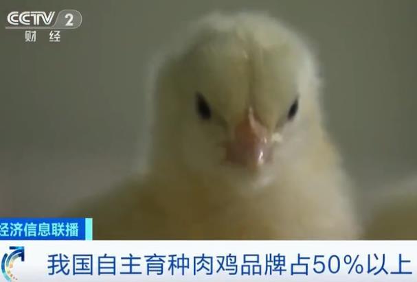 我国自主育种肉鸡品牌占50%以上