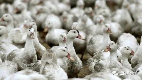 法国61个养殖场现高致病性禽流感致20多万只鸭子被扑杀