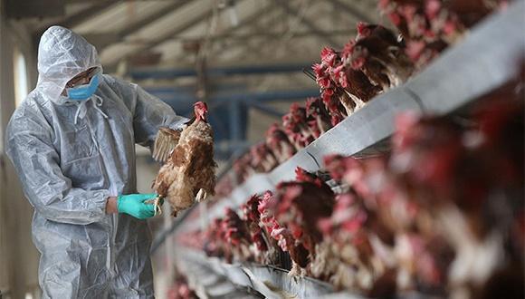 俄罗斯停止从爱沙尼亚进口家禽产品