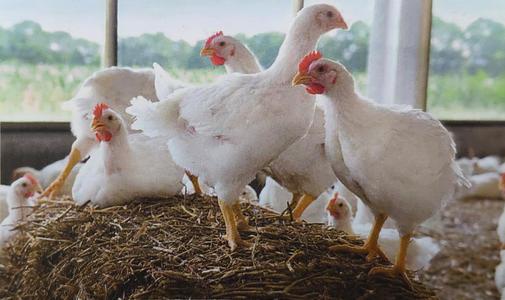 2021年家禽企业新闻纵览