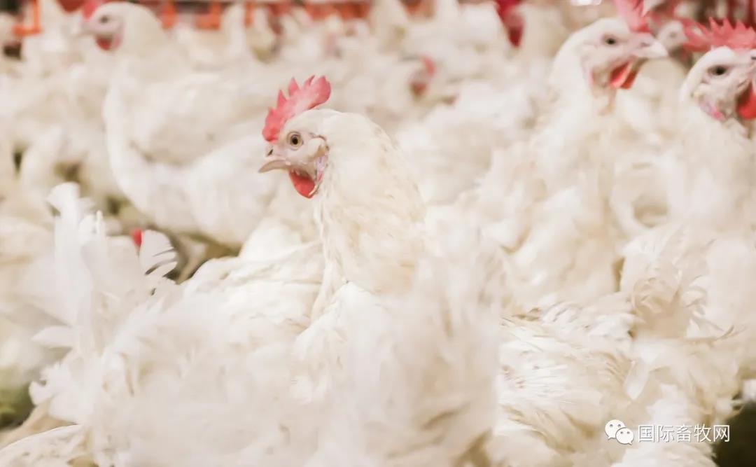 正大集团3000万只肉鸡全产业链项目顺利落地河南南阳