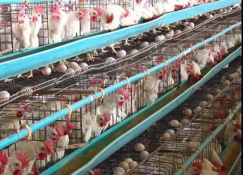 2022年泰国蛋鸡行业将出现严重异常竞争